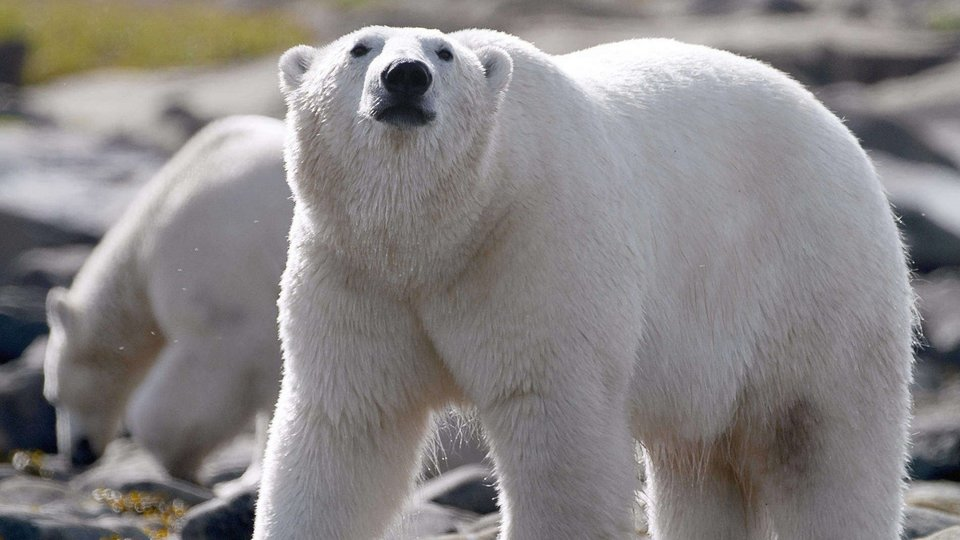 Kingdom of the Polar Bears (Nat Geo Wild)