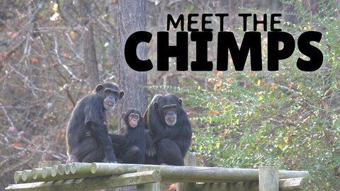 Meet the Chimps