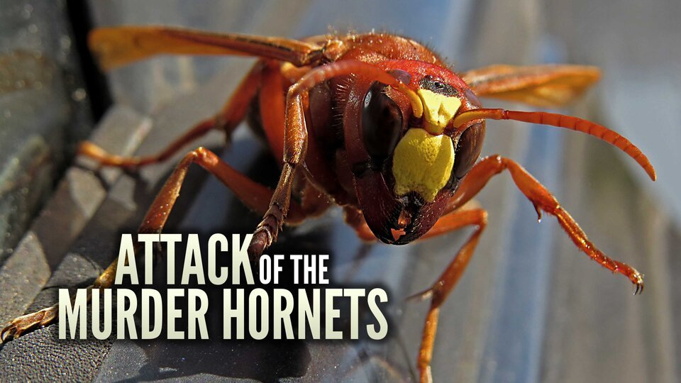 Attack of the Murder Hornets - Discovery+